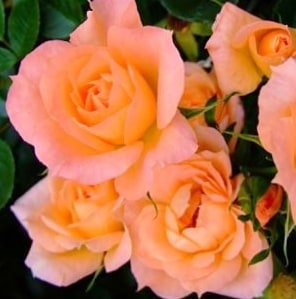 Роза Генезис (Genesis)