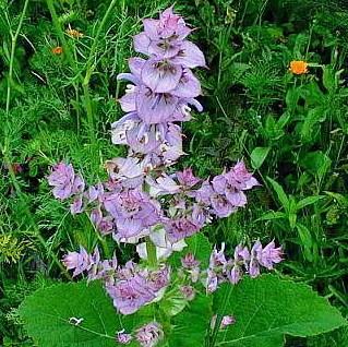 Шалфей или Сальвия (Salvia)