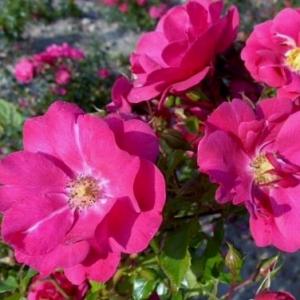 Роза Зоммермерхен (Sommermarchen)
