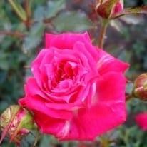 Роза Джипси Джевел (Gypsy Jewel)