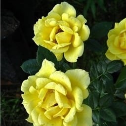 Роза Дорола (Dorola)