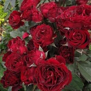 Сорт розы Блэк Джек