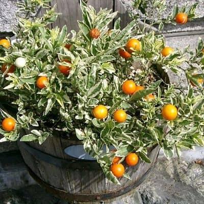 Соланум или Паслен (Solanum)