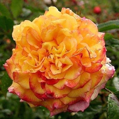 Роза Ругельда (Rugelda)