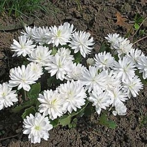 Сангвинария - кровяной корень (Sanguinaria)