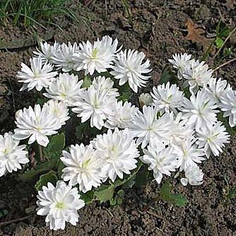 Сангвинария — кровяной корень (Sanguinaria)