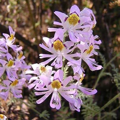 Схизантус (Schizanthus)