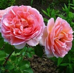 Роза Абрахам Дерби (Abraham Darby)