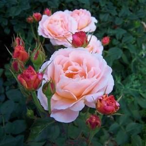 Роза Тамора (Tamora)
