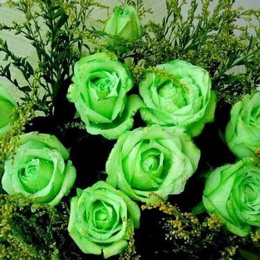Зеленые розы (Green rosa)