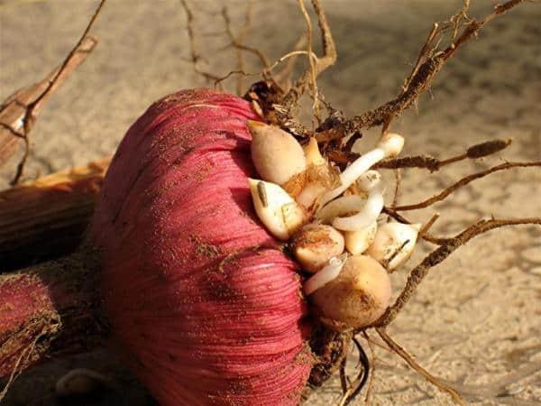 Гладиолусы выращивание хранение луковиц 43