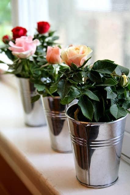 Размножение роз в домашних условиях