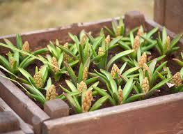 Как высадить гиацинты в грунт