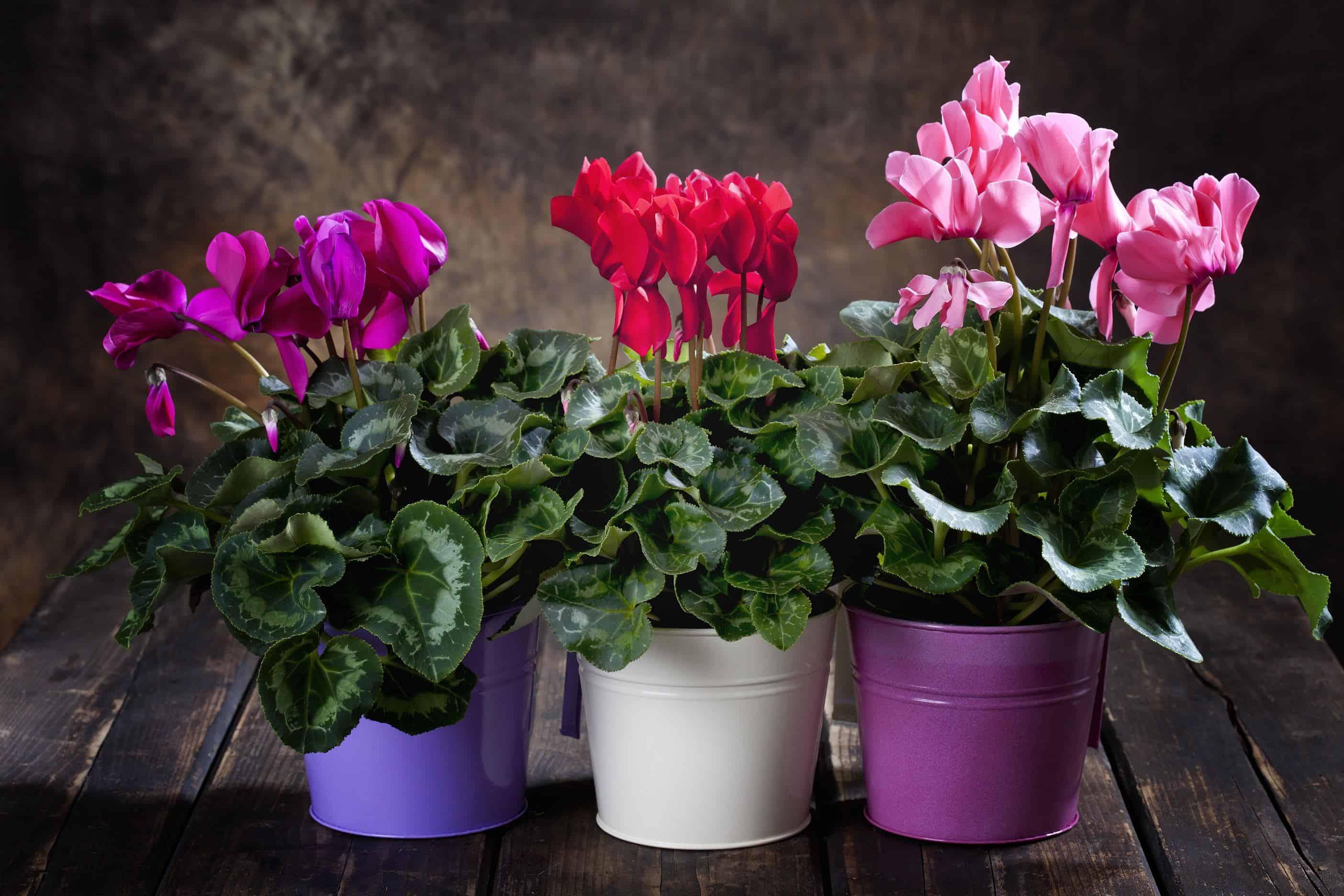 розовый, фиолетовый и красный цикламены