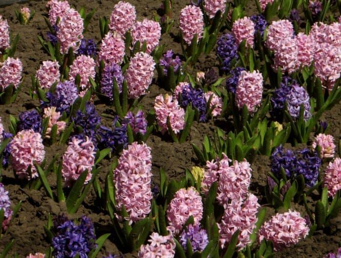 цветение гиацинтов в открытом грунте