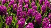 Гиацинт после цветения – что делать и как сохранить луковицу, посадка и уход за растением домашних условиях