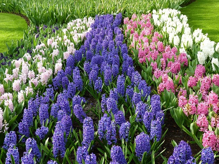 цветущие гиацинты в саду