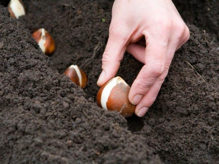 посадка луковиц гианцинтов в открытый грунт