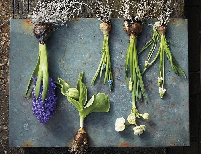 ростки гиацинтогв с луковицами