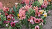 Посадка гиацинтов в открытый грунт – правила ухода за растением осенью и весной