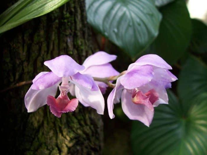 орхидея аганазия
