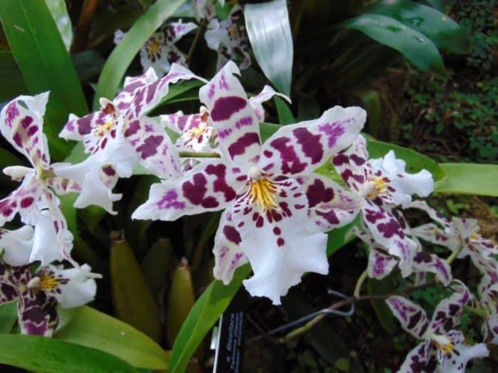 орхидея беаллара