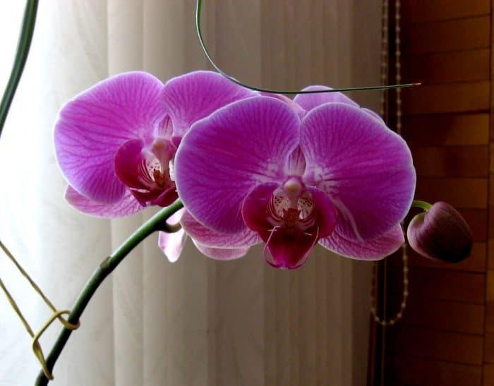 орхидея жемчужина императора