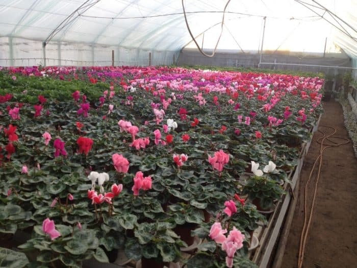 выращивание цикламенов в теплице