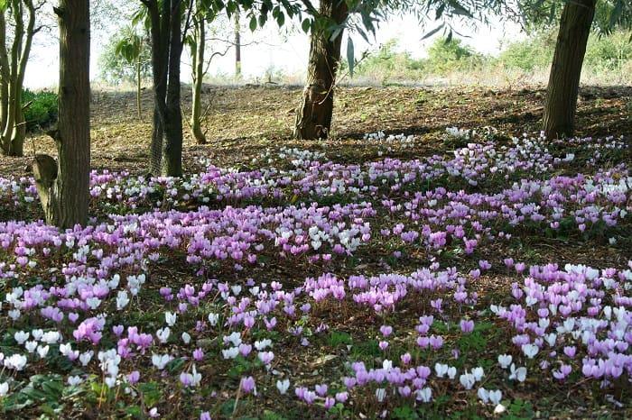 выращивание цикламенов в открытом грунте