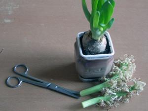 Гиацинт в домашних условиях уход полив пересадка