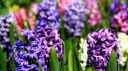 Как вырастить гиацинт – правила выращивания цветка из семян, луковицы или в воде в домашних условиях