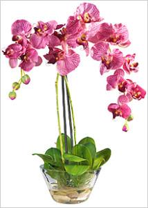 Орхидея Фаленопсис: правила выращивания
