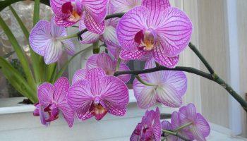 Выращивание фаленопсиса – условия и технология размножения орхидеи в домашних условиях, общие советы по уходу