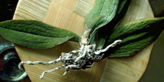 Болезни орхидей: грибковые и вирусные