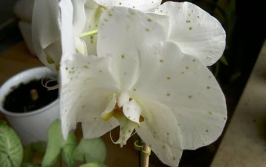 Болезни орхидей: гниль