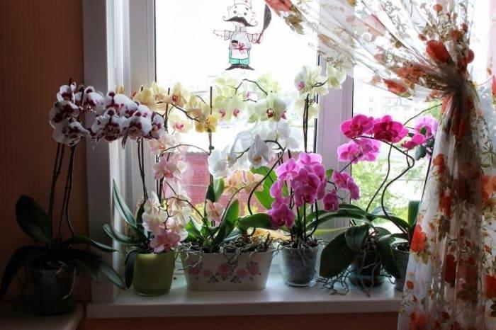 цветущие орхидеи на подоконнике