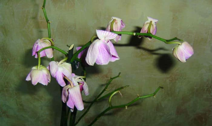 увядающая фиолетовая орхидея