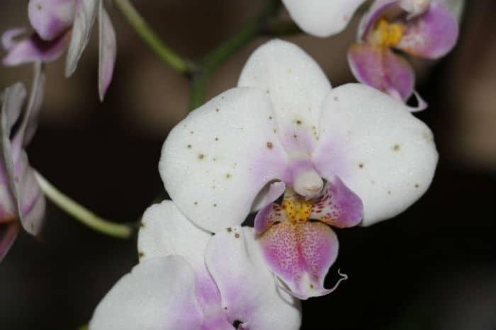 короичневые пятна на белых цветах орхидеи