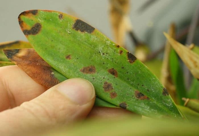 бактерилальная пятнистость на листьях орхидеи
