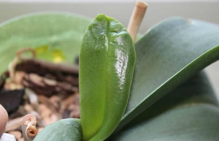 деформированный лист орхидеи