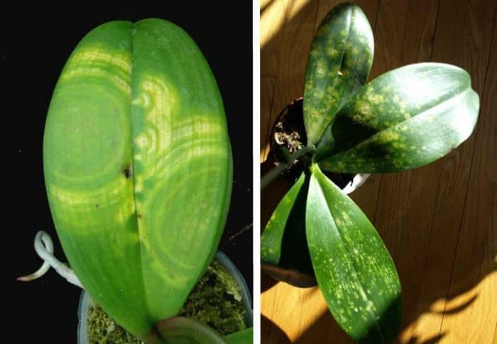 вирусное заболевание орхидеи