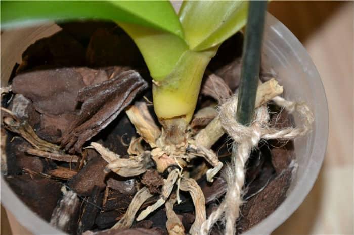 коронная (сердцевинная) прикорневая гниль орхидеи