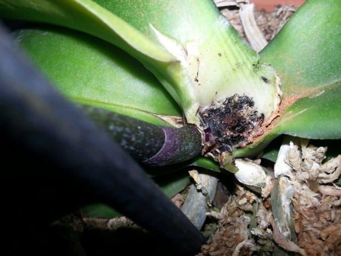 признаки гнили у орхидей