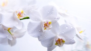 Вредители орхидей: белокрылка и трипсы
