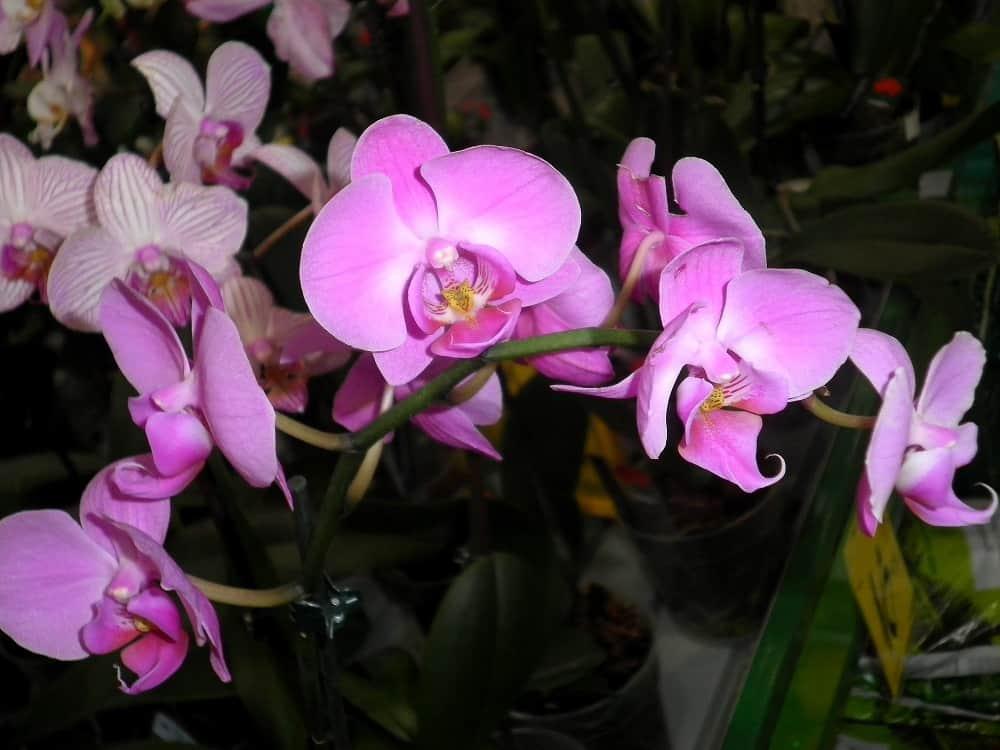 цветущая розовая орхидея