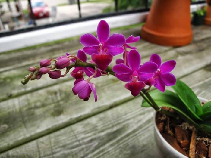 бутонизация и цветение орхидеи
