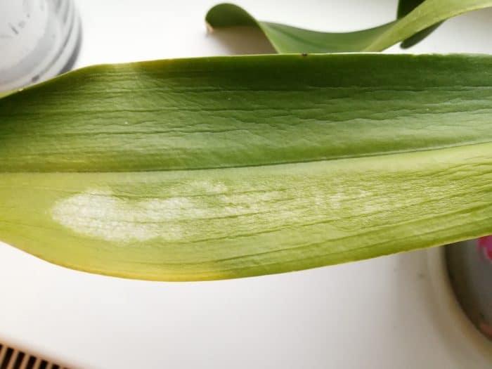 увядания листа орхидеи