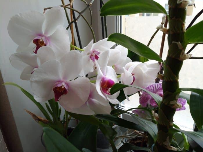 цветущая белая орхидея