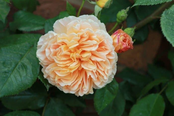 роза Личфилд ангел