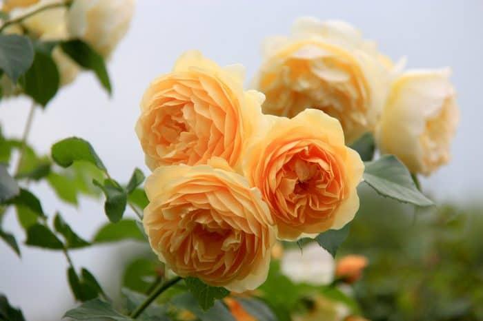 роза Голден селебрэйшн